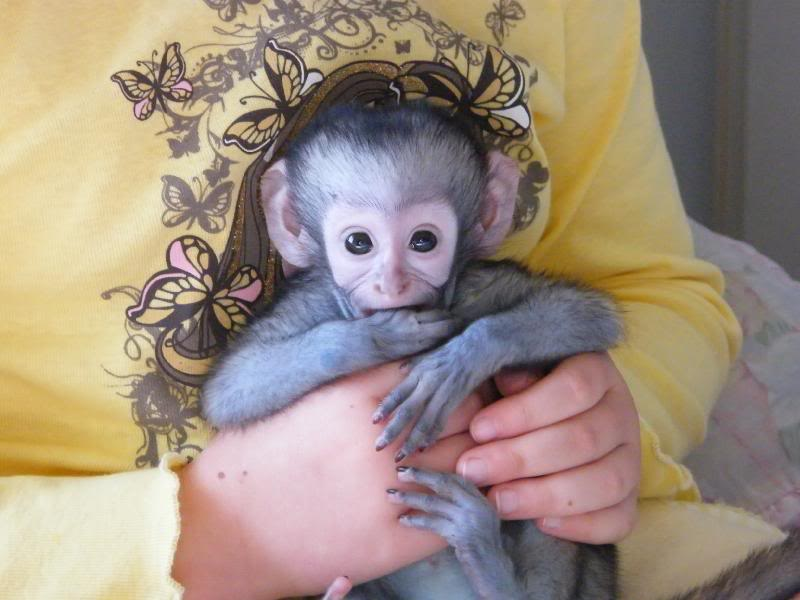 monkeys as pets According to the department of environment and energy, primates have never been imported legally into australia to be kept by individuals for private purposes there are multiple scams running out of cameroon and nigeria offering guaranteed delive.
