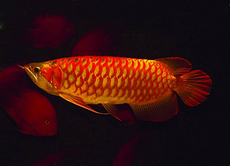 Arowana fish for sale atlanta ga asnclassifieds for Dragon fish for sale