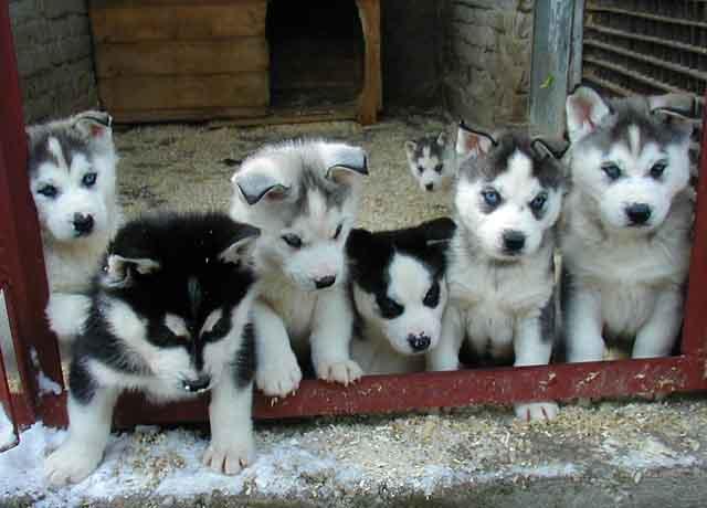 Adorable Siberian Husky Puppies For Sale - Houston, TX