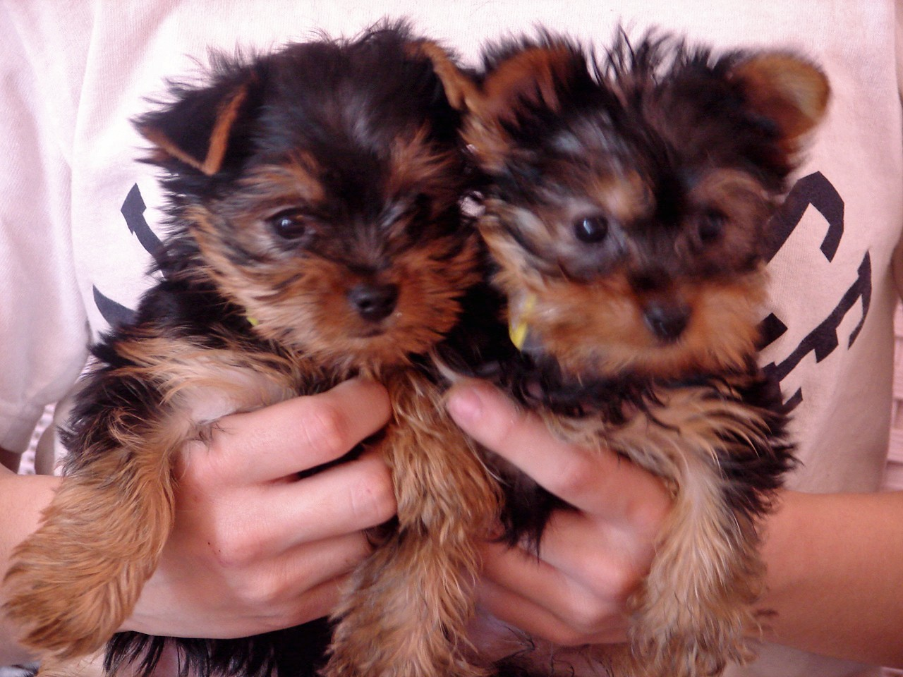 Charming Loving T-cup Yorkie puppies for Adoption - Oklahoma