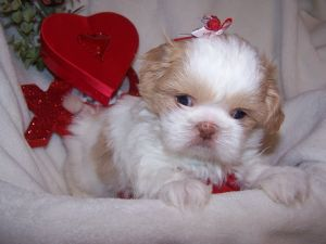 Shih  Puppies on Awesome Shih Tzu Puppies For Sale Awesome Shih Tzu Puppies For Sale
