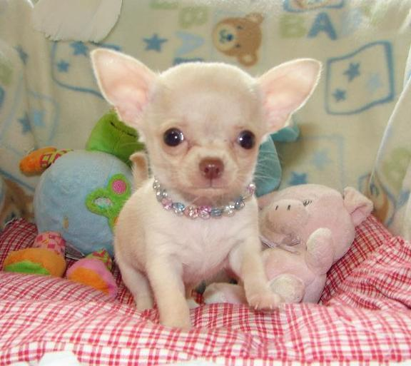 female chihuahua puppies available $ 350 00 quality chihuahua puppies ...