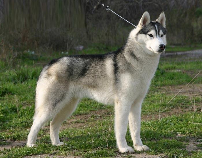 Adorable siberian husky puppies we have three siberian husky puppies