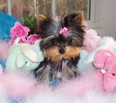 Yorkie Puppies on Male   Female Yorkie Puppies For Adoption