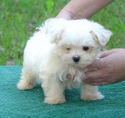 Teacup Puppies on Adorable Teacup Size Maltese Puppies Ready To Go Asap