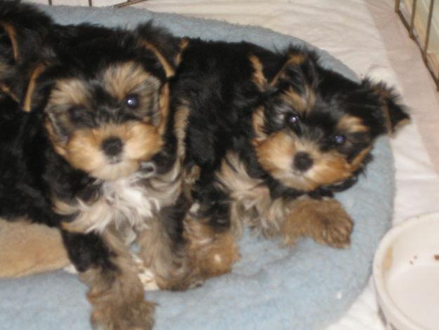 Male And Female Teacup Yorkie Puppies For Adoption Tiki And Billy