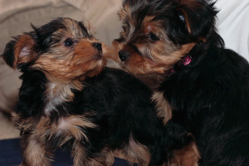 Gorgeous Yorkie Puppies For Adoptionellpow At Yahoocom Beloit Wi