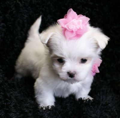 Teacup Chihuahua Maltese Mix Puppies