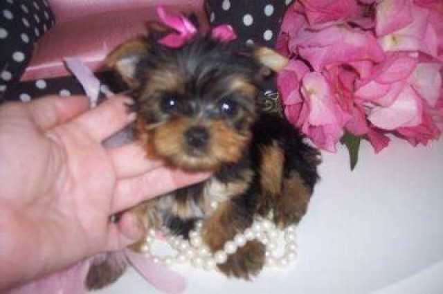Calm And Gentle Little Yorkie Puppies Available Richmond Va