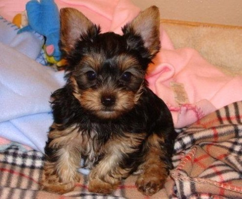 Yorkie puppies for adoption in california
