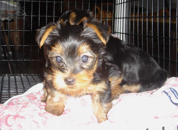 cute lovely adorable akc registered teacup yorkie for free adoption