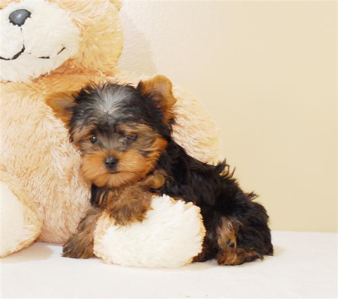 Yorkie Puppy Rescue Alabama