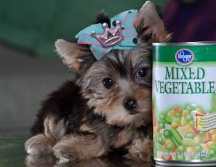 Hey!!Super Cutest Tiny Teacup Yorkie Puppies For Adoption