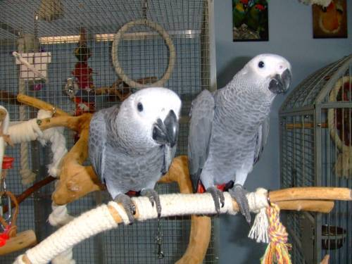 parrots available for sale