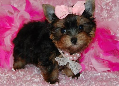 Beautiful Babies Yorkie Puppies Now Ready For Sale Murrysville Pa