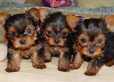 Tea Cup Male And Female Yorkie Puppies For Adoption Mamalujan3
