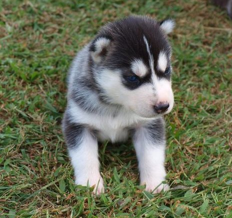 100 Siberian Husky Puppies For Sale Very Cheap Antioch Ca