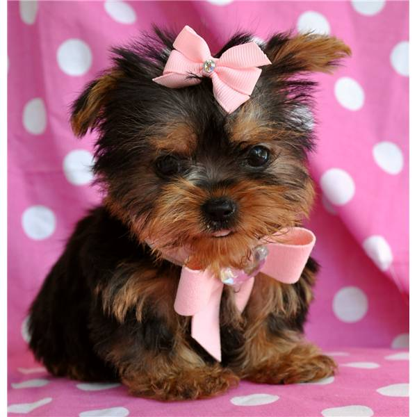 baby face Teacup Yorkie Puppies For Free Adoption ...