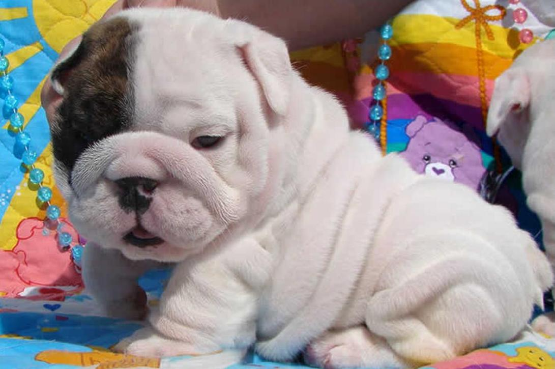english bulldog puppies $ 500 00 quality english bulldog puppies ...