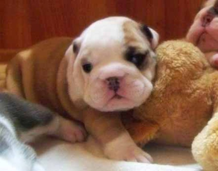 Fitness - Miniature English Bulldog puppy for sale - Chicago