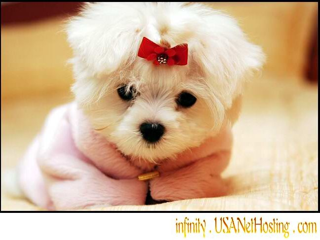 cuddle love me personality maltese puppies for free adoption maltese puppies 648x487