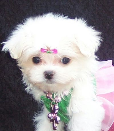 Adorable Potty Trained Teacup Yorkie Puppies For Adoption ...
