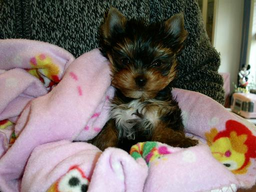 Teacup Yorkie Puppies For Free Adoption