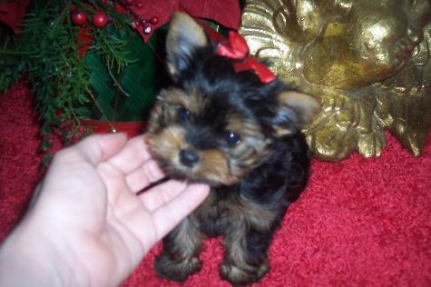 Teacup Yorkie Puppies For Free Adoption - Kansas City, KS   ASNClassifieds