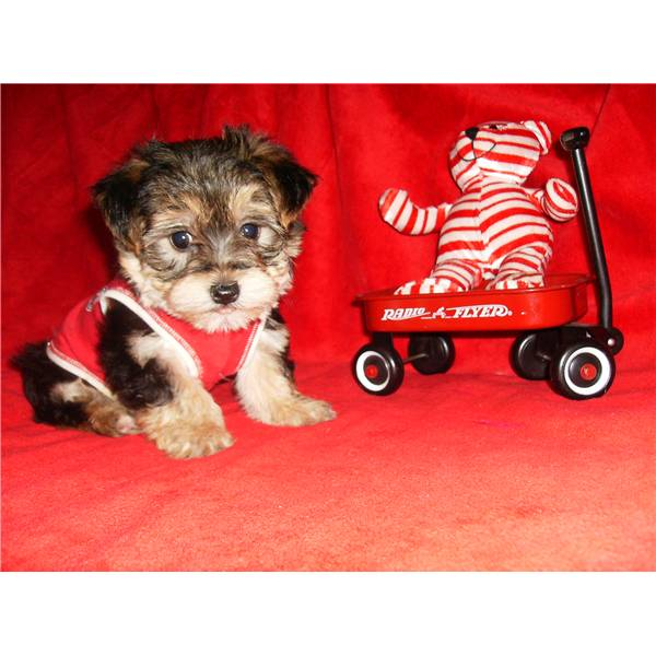 Wow Asking Only 90 Male Female Yorkie Puppies For Adoption
