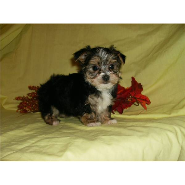 Wow Asking Only $90 Male & Female Yorkie Puppies For
