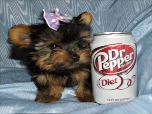Potty Trained Home Raised Teacup Yorkie Puppies For Adoption