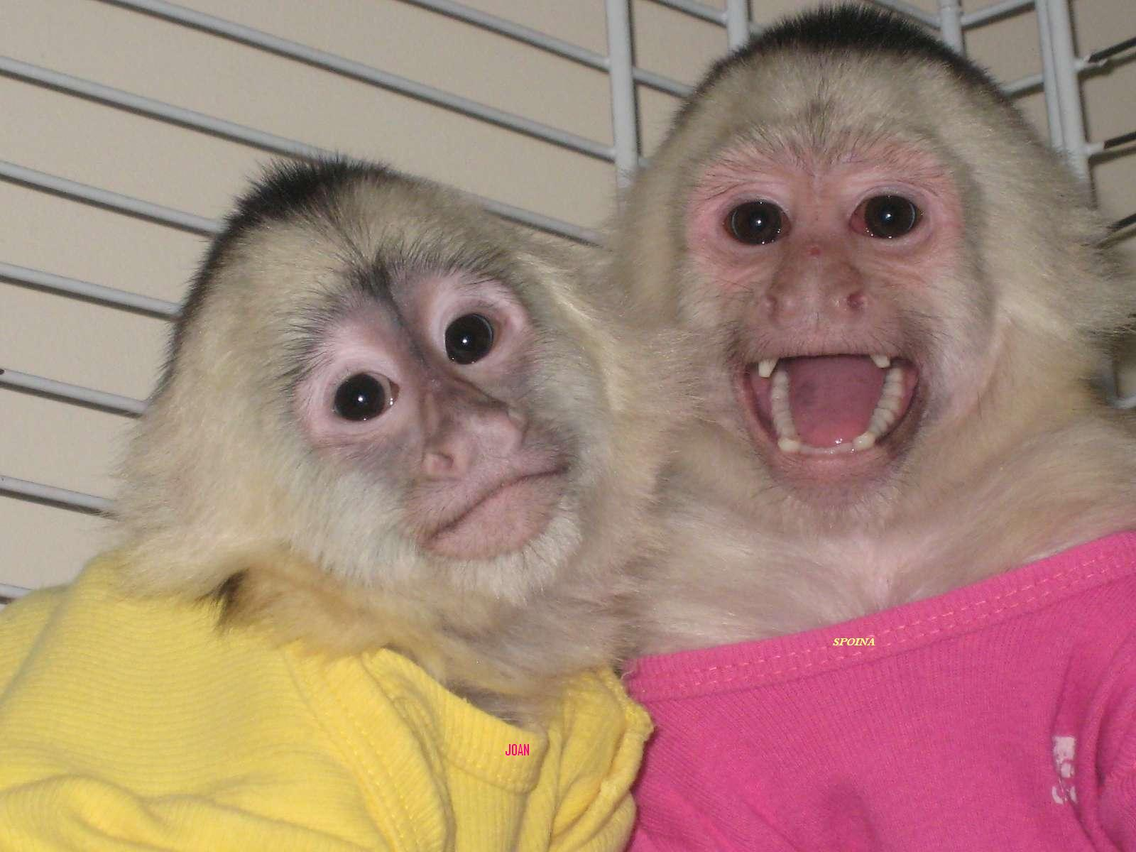 ADORABLE BABY CAPUCHIN MONKEYS FOR ADOPTION(patriciabenz14 ...