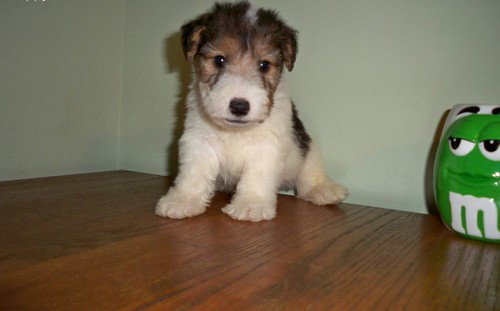 Wire Fox Terrier Puppies