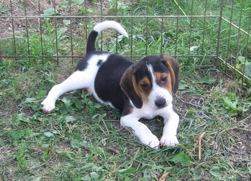 Beagle Puppies For Sale In Paducah Ky