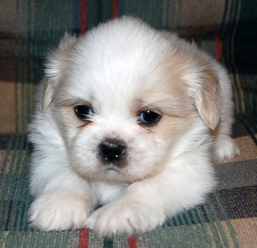 Shih Tzu Puppies - Yonkers, NY | ASNClassifieds