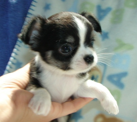 Baby Face Chihuahua Puppies Free For Adoption Altadena
