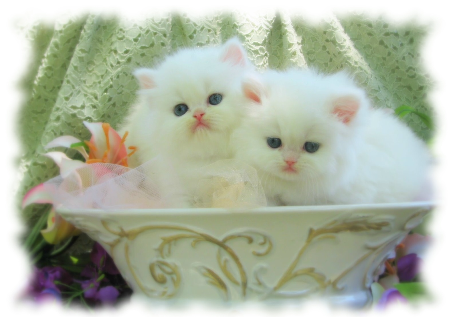XMAS PERSIAN KITTENS AVAILABLE FOR ADOPTION