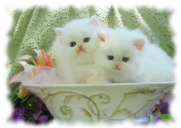 Orange tabby,super flat nose, show quality persian needed.