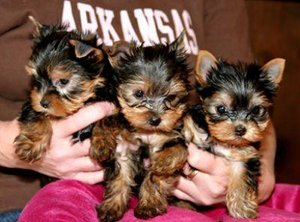 Teacup Yorkie Puppies For Adoption Monticello Ar