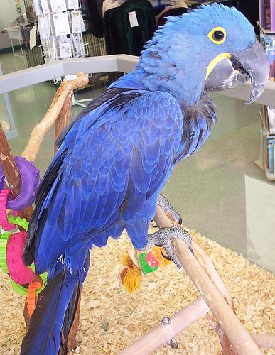Cute hyacinth macaw parrots for sale austin tx asnclassifieds