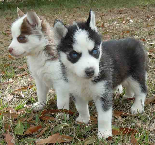 Image Result For Free Siberian Husky Puppies For Adoption
