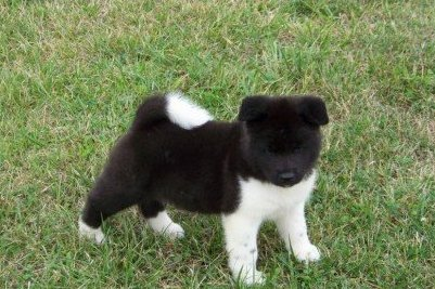 Japanese Akita Puppies For Sale Alice Tx Asnclassifieds