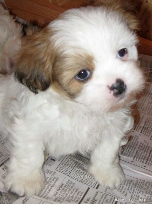 lhasa apso puppies for sale $ 0 00 lhasa apso puppies for sale please ...