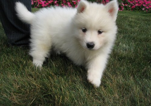 58772 samoyed puppies for sale jpg