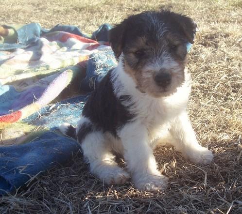 Wire Fox Terrier Puppies Dallas Tx