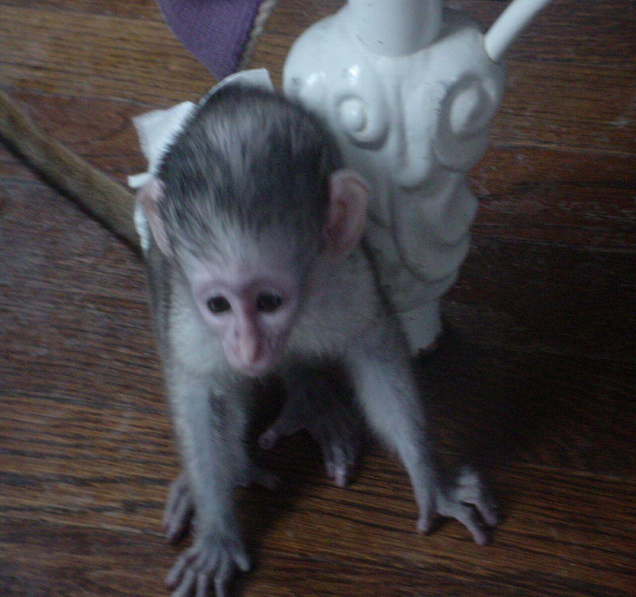Monkeys - Albany, GA - Free Classified Ads