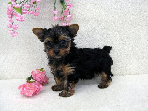 yorkie puppies - 20.00 US$