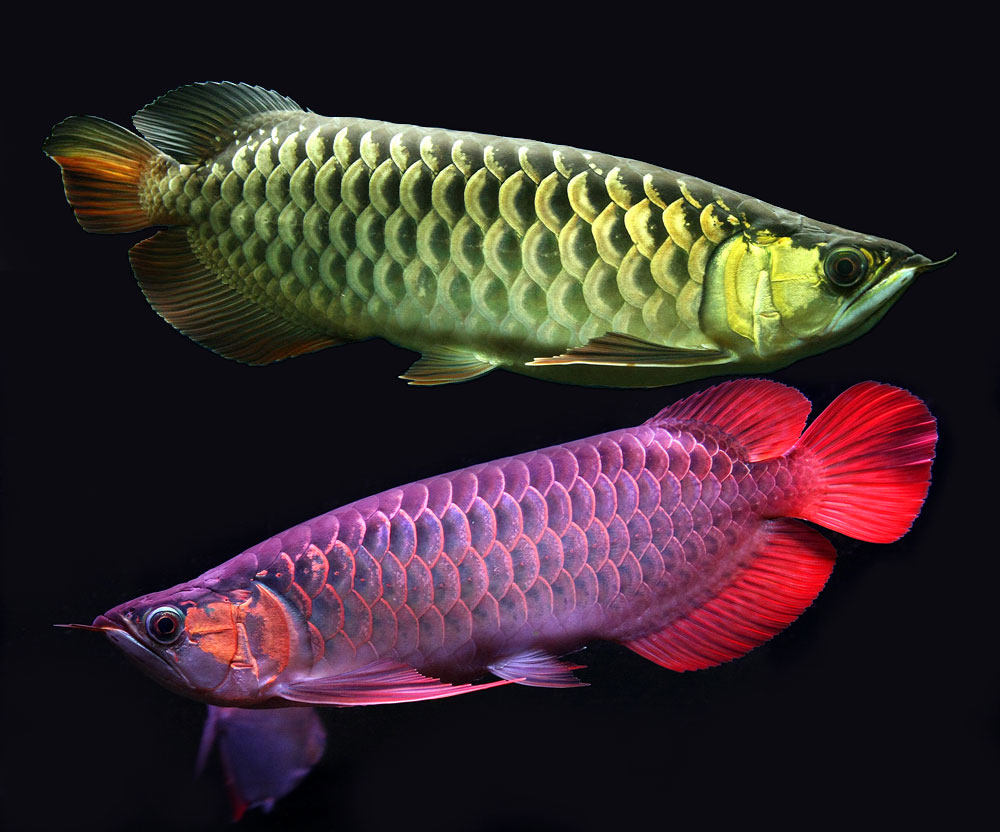 RED AROWANA FISH AND OTHERS FOR SALE