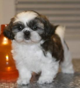 Adorable Shih Tzu Puppies For Adoption Ashland Ky Asnclassifieds