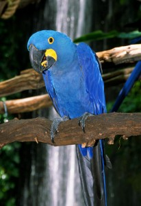 Well Trained Hyacinth Macaw Parrots For Sale